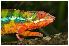 Jeweled Chameleon Madagascar