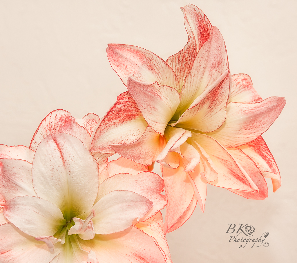 Cotton Candy Amaryllis